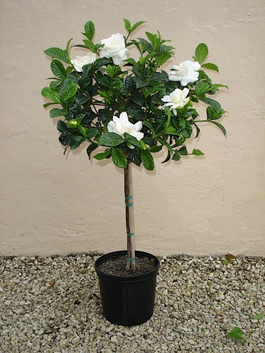 "GARDENIA 6"" TOPIARY BRAID"