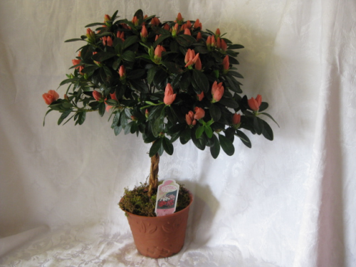 AZALEA BRAIDED TOPIARY 6""