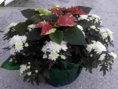 WHITE MUM & RED POINSIETTIA COMBO 10""