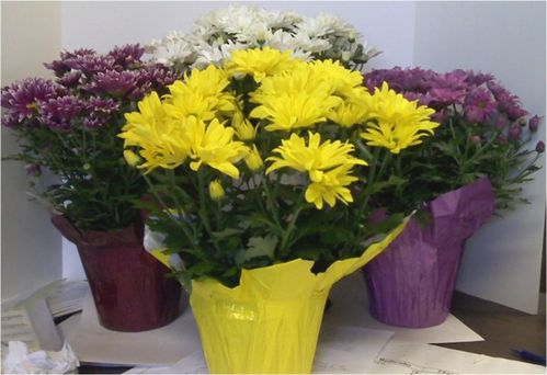 MUMS ASSORTED 6""