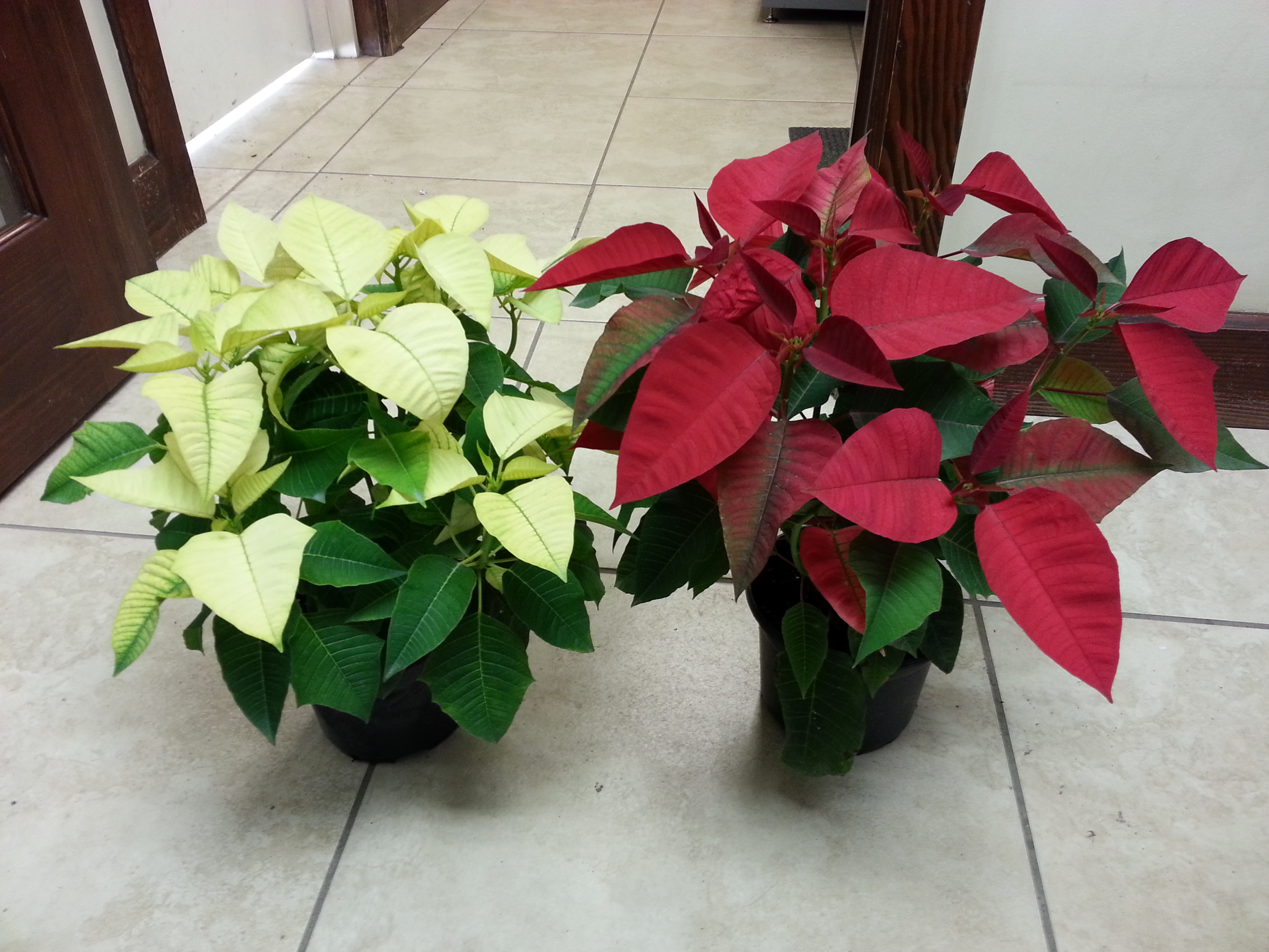 6_in_red__white_poinsettias