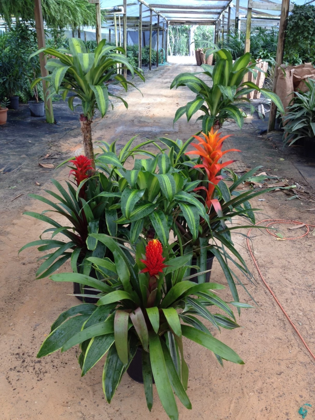 mass_cane_with_bromeliad