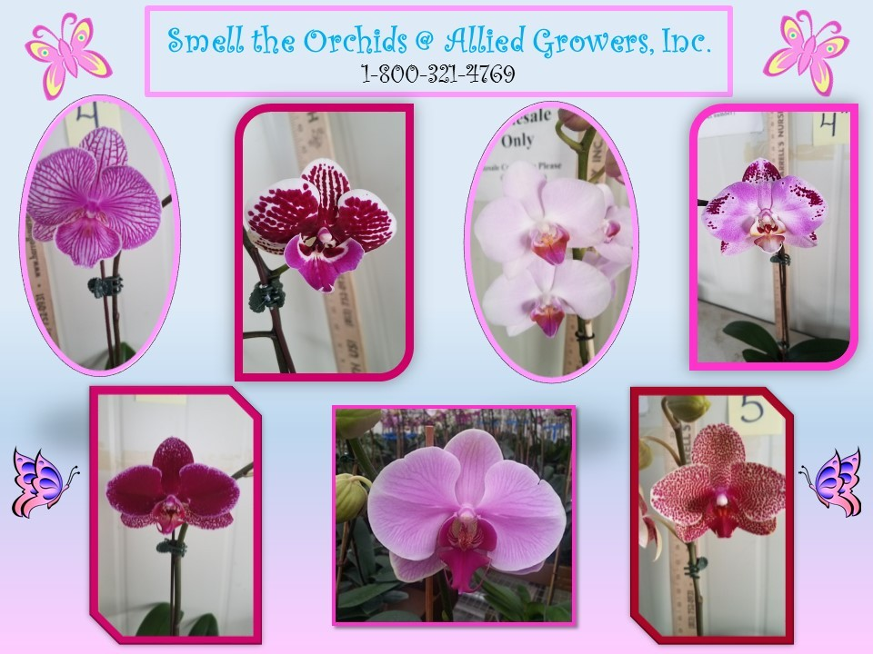 orchid_flyer_2